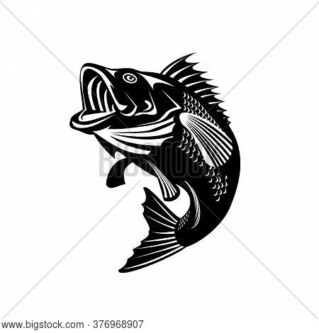 Illustration Of A Florida Largemouth Bass, Buckemouth Or Widemouth Bass, Species Of Black Bass And A