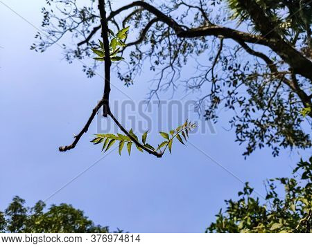 Azadirachta Indica, Commonly Known As Neem, Nimtree Or Indian Lilac, Is A Tree In The Mahogany Famil