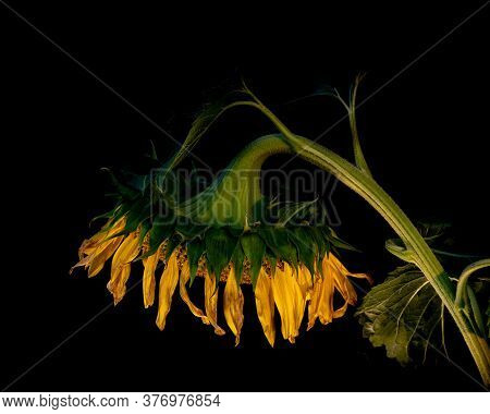 Dying Wilting Sunflower Reminding Of The Saddness And Loneliness Of Old Age And Wilted Love In Color