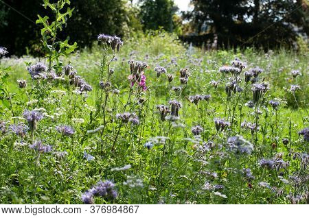 A Meadow With Wildflowers And Blue Phacelia Plants In Summer Sunlight