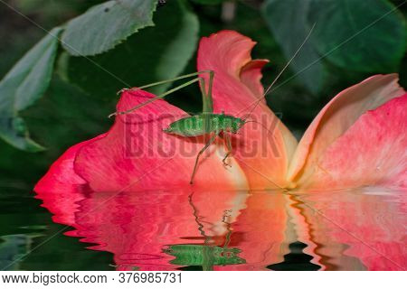 A Beautiful Green Locust Sits On A Pink Rose In The Water. The Locust Is Reflected In The Water.
