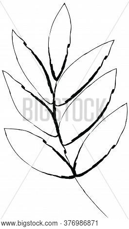 Doodle Drawing Image Of Ash Leaf, Vector Item Illustration For Autumn