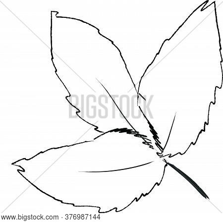 Doodle Drawing Image Of Common Hoptree Leaf, Vector Item Illustration For Autumn