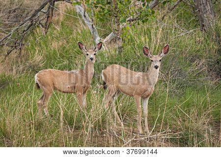 Mule Deer (Odocileus hemionus) Look Up