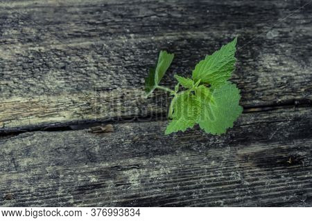 A Young Stalk Of Dead Nettle Sprouted Alone Through A Crack In Black Wooden Planks. One Juicy Fresh