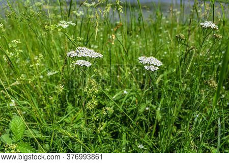Two Blooming With White Flowers Yarrow Among Green Grass In A Meadow On A Sunny Spring-summer Day. N