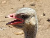 profile ostrich strange bird thirsty flocculation powerful cute poster