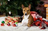 Brindle basenji dog with christmass tree decorations poster