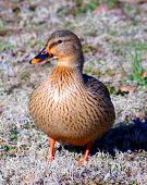 female mallard along mississippi flyway poster