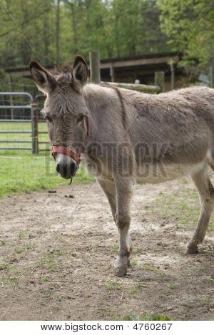 Vertical Shot Of Donkey