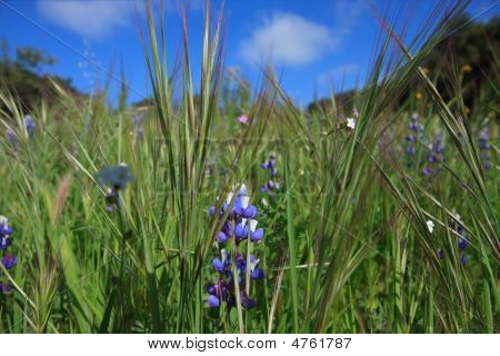 Wild Lupin And Grass In Meadow