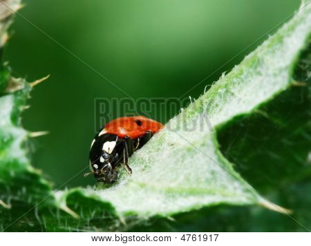 Red ladybugs eating aphid on green leaf poster