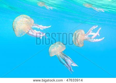Dangerous jellyfish known as The Mauve Stinger (Pelagia noctiluca) floating in mediterranean sea.
