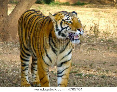 Panting Tiger