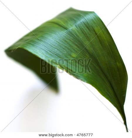 Green Leaf Against White