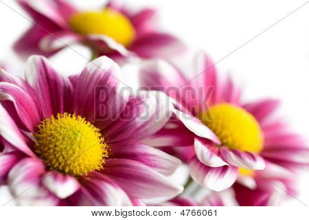 Colorful Daisies Isolated