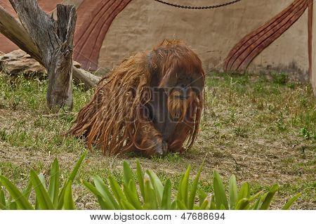 Orangutan ape in zoo