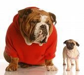 english bulldog sitting beside pug puppy that is wearing collar that is too big poster