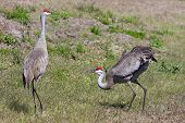 Pair of Sandhill Cranes (Grus canadensis) doing a courtship dance in the Florida Everglades poster