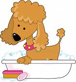 Cute apricot poodle in a bath tub poster