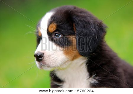 Portrait Of Bernese Mountain Dog