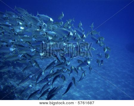 Scholling Fish Near Reef In Red Sea, Egypt.