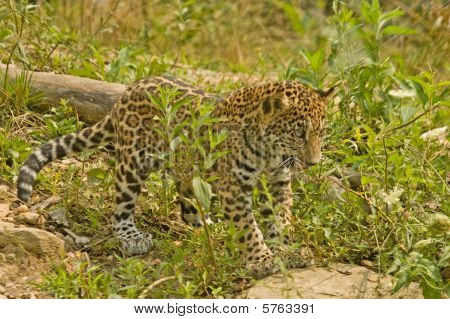 Jaguar Ready To Pounce