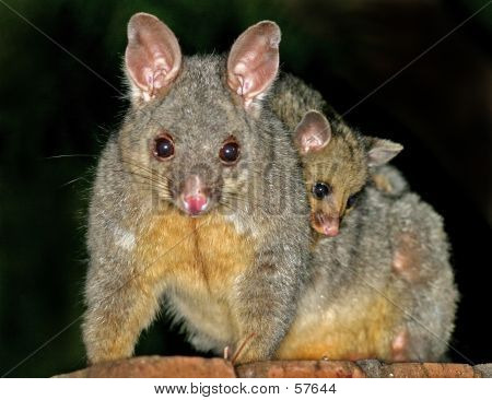 Possums...