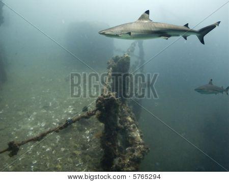 Blacktip Reef Shark (Carcharhinus melanopterus) swimming over shipwreck poster