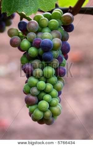 Pinot Noir grapes during veraison in the Willamette Valley of Oregon poster