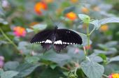 Tropical Butterfly Common Mormon Papilio polytes on a plant poster