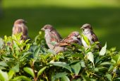 flock of sparrows on a green bush poster