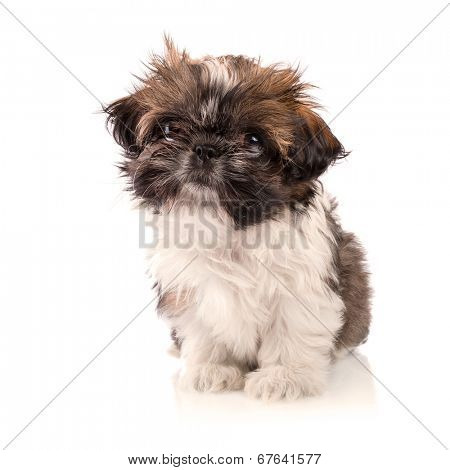 Shih tzu puppy isolated on white background