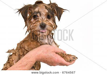 Maltese Yorkie Mix Puppy Getting A Bath