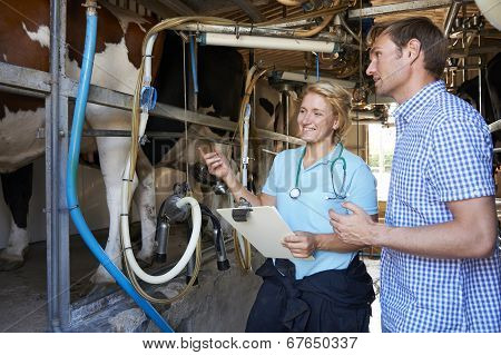 Farmer And Vet Inspecting Dairy Cattle In Milking Parlour