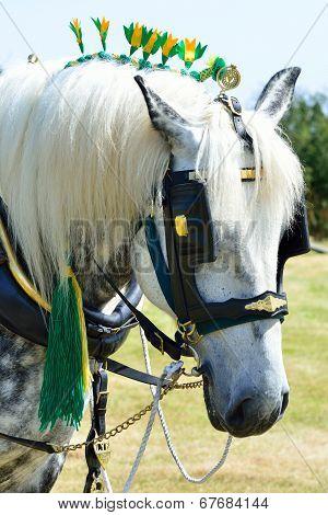 White shire horse portrait