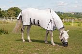 Horse wearing a fly rug to avoid biting insects & a grazing muzzle to restrict & control the amount of grass eaten, for health benefits. poster