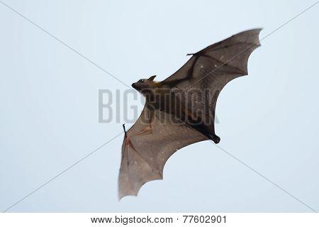 Gambian Epauletted Fruit Bat (epomophorus Gambianus) In Flight