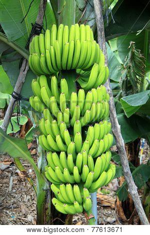 A banana tree with bananas