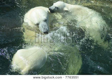 Polar Bears Bathing
