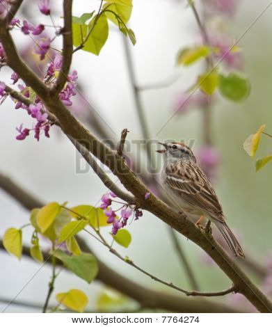 Chipping sparrow Spizella paserina singing perched on a blooming redbud tree poster