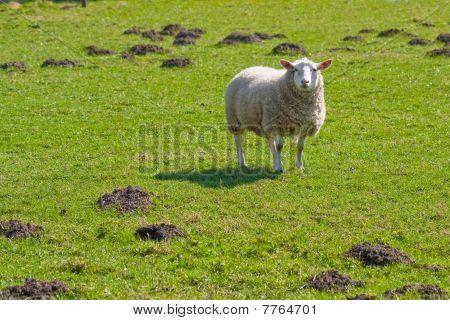 Texel Sheep In Lush Grass Field
