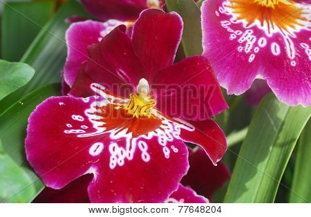 Miltonia Pink White Orchid Flower