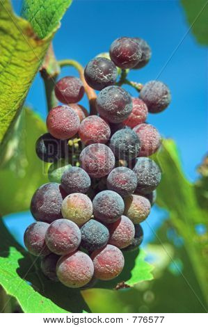 Wine Grapes on the Vine