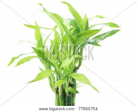 Ribbon Dracaena, Lucky Bamboo, Belgian Evergreen, Ribbon Plant Plant With Freshness Water Dew Isolat