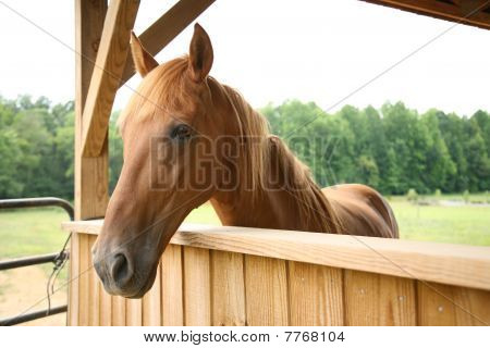 Brown horse looking out over a barn stall with pature in the background poster