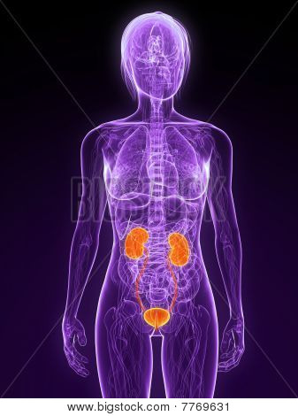 highlighted urinary system