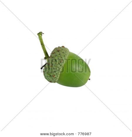 acorn on white background