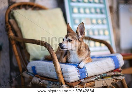 sweet white brown dog lying on a wooden chair