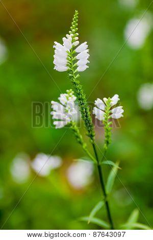 Obedient Plant Or False Dragonhead